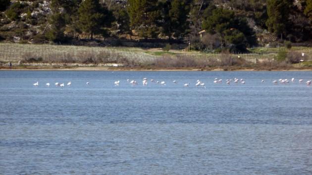 Flamingos in Gruissan