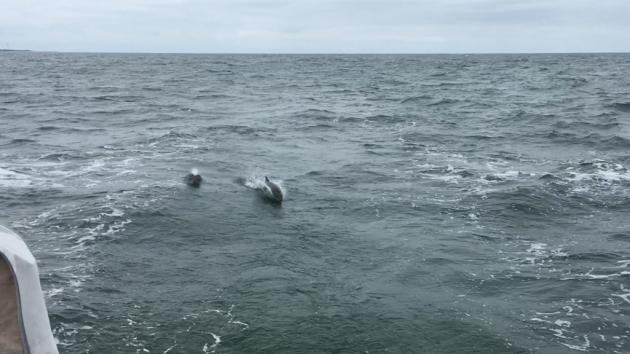 Schweinswale im Kielwasser