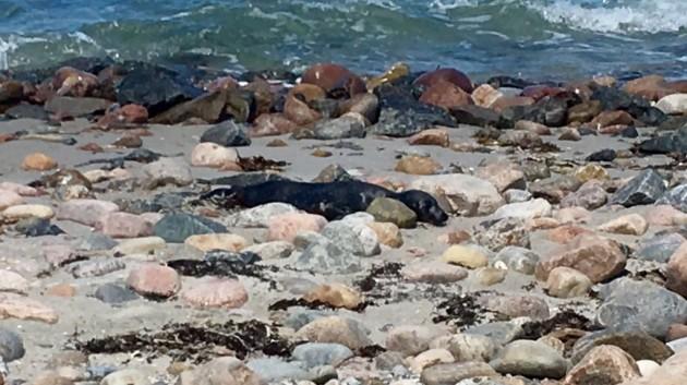 junger Seehund am Strand